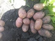 Молодой картофель 2018 оптом,  Липецк